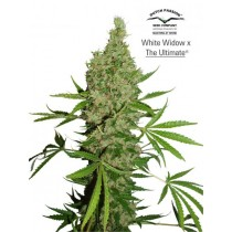 White Widow x The Ultimate Regular – Dutch Passion