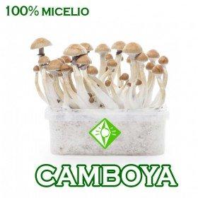 KIT SETAS CAMBOYANAS MICELIO 100%