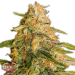 Tropic Punch - Heavy Weigh Seeds