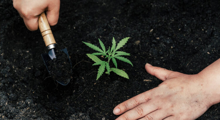 Legalidad del cultivo de marihuana en España