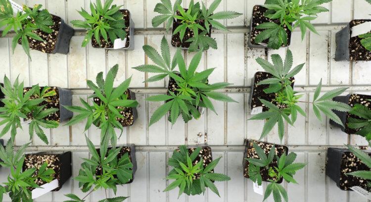 Macetas para cultivar cannabis