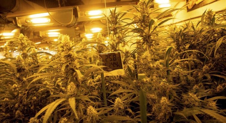 Montar un cultivo de marihuana en interiores
