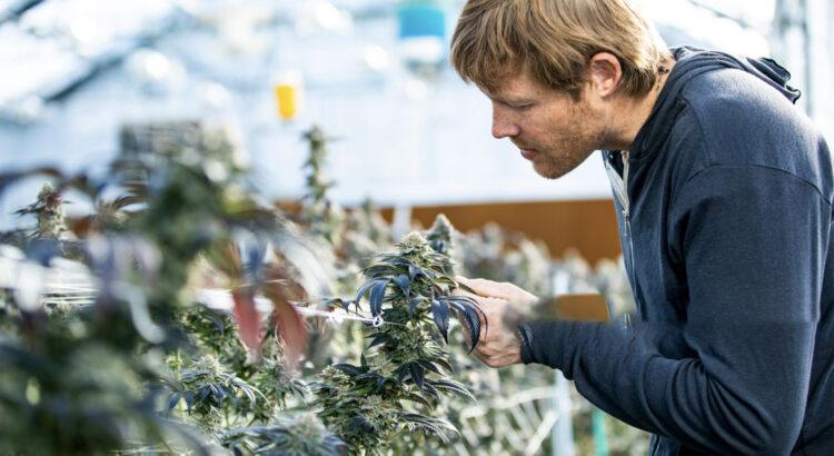 Semillas de marihuana para principiantes