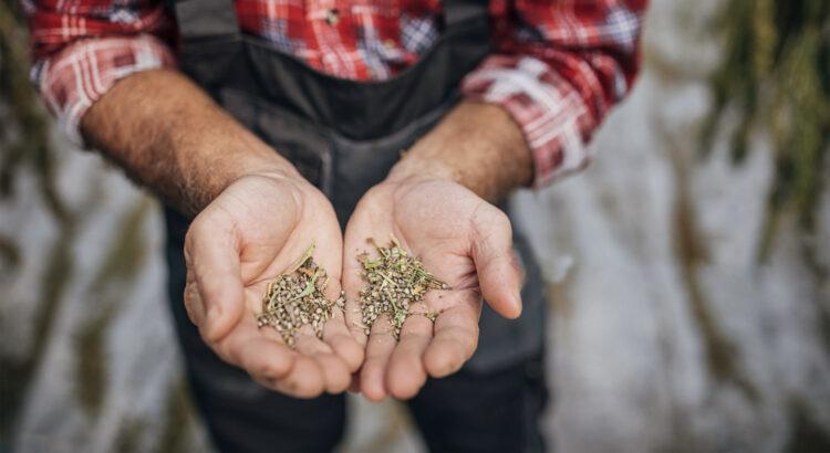 comprar semillas de marihuana en España